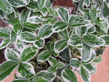 Euonymus japonicus Royalty Free Stock Photography