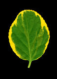 Euonymus leaf, yellow, green Royalty Free Stock Image