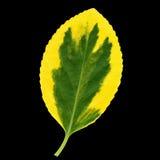 Euonymus liść, kolor żółty, zieleń Zdjęcia Stock