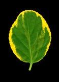 Euonymus liść, kolor żółty, zieleń Obraz Royalty Free
