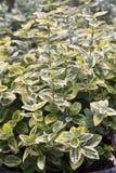 Euonymus - Smaragd op Goud Stock Afbeelding