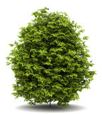 Euonymus verrucosa Busch getrennt auf Weiß lizenzfreie abbildung