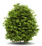 Euonymus verrucosa bush isolated on white Stock Image