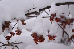Euonymus w wintergarden Gałąź wrzeciono roślina z jagodami pod śniegiem Zdjęcie Royalty Free
