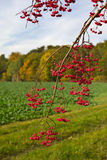Euonymus Royalty Free Stock Images