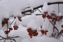 Euonymus in winter garden. Branch of spindle plant with berries under snow Royalty Free Stock Photo