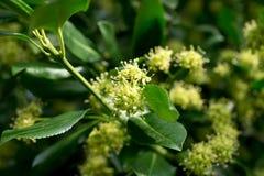 Euonymusfortunei Royaltyfria Foton