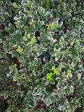 Euonymusfortunei Emerald Gold Royaltyfria Foton