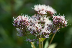 Eupatorium cannabinum Stock Image