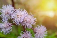 Eupatorium sordidum Blume, die im Garten blüht Stockbilder