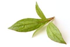 Eupatorium stoechadosmum Hance tree. Eupatorium stoechadosmum Hance, a heart stimulant properties stock photo