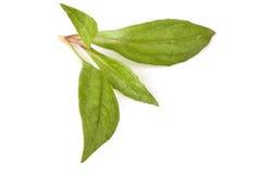 Eupatorium stoechadosmum Hance tree. Eupatorium stoechadosmum Hance, a heart stimulant properties stock images
