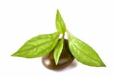Eupatorium stoechadosmum Hance tree. Eupatorium stoechadosmum Hance, a heart stimulant properties stock image
