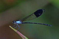 Euphaea Impar male damselfly. In the parks Royalty Free Stock Images