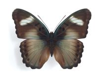 Euphaedra ceres (male). On the white background Stock Images