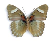 Euphaedra ceres (male) (underside). On the white background Royalty Free Stock Images
