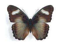 Euphaedra ceres (o macho) Imagens de Stock