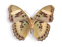 Euphaedra ceres (underside). On the white background Royalty Free Stock Photos