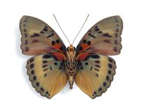 Euphaedra cyparissa (underside). On the white background Stock Images