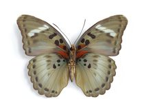 Euphaedra themis (female) (underside). On the white background Royalty Free Stock Images