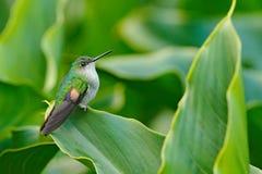 Eupherusa eximia, Stripe-tailed Hummingbird, small bird from Savegre, Cordillera de Talamanca, Costarica. Wildlife scene from trop. Ic nature. Hummingbird royalty free stock photo