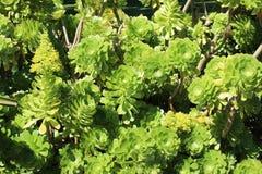 Euphobia do verde-lima Foto de Stock Royalty Free