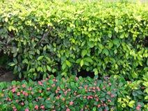 Euphobia en de bloemen van de Antillen Royalty-vrije Stock Foto's
