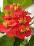 Euphobia Milii Crown of thorns flowers on tree Royalty Free Stock Photos