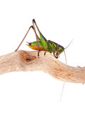 Eupholidoptera chabrieri - Bush cricket insect Royalty Free Stock Photo