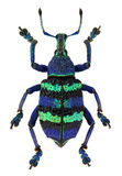 Eupholus magnificus, a blue exotic weevil Stock Photography
