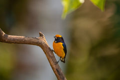 Πορτοκαλής-διογκωμένο Euphonia, αρσενικό Στοκ εικόνες με δικαίωμα ελεύθερης χρήσης