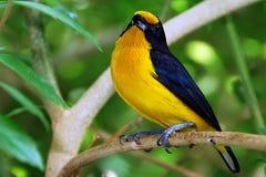 Euphonia jaune Photos libres de droits