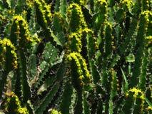Euphorbe euphorique Image stock