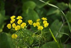 Euphorbe jaune Photographie stock libre de droits