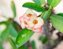 euphorbia цветет milii Стоковые Изображения