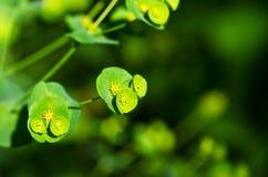 Euphorbia Arkivfoton