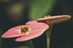Euphorbia Arkivfoto