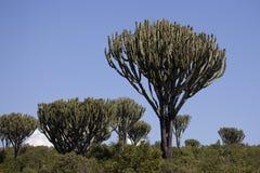 Euphorbia 7498 Stock Photography