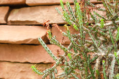 Euphorbia aeruginosa. Succulent plants in arid plants garden Royalty Free Stock Image