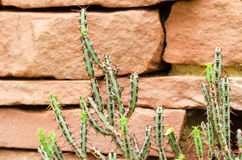 Euphorbia aeruginosa. Succulent plants in arid plants garden Royalty Free Stock Images