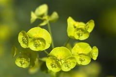 Euphorbia amygdaloides Stock Images
