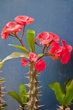 Euphorbia Royalty Free Stock Photos