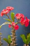 Euphorbia Royalty Free Stock Photos