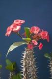 Euphorbia Royalty Free Stock Photography