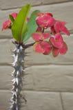 Euphorbia Stock Image