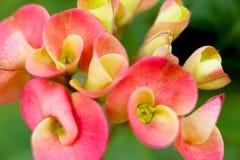 Euphorbia Stock Photography