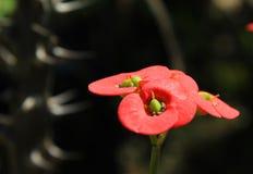 euphorbia blommar milii arkivfoto