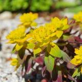 Euphorbia bonfire Stock Image