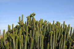 Euphorbia Canariensis Royalty Free Stock Image