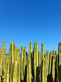 Euphorbia canariensis Stock Photography